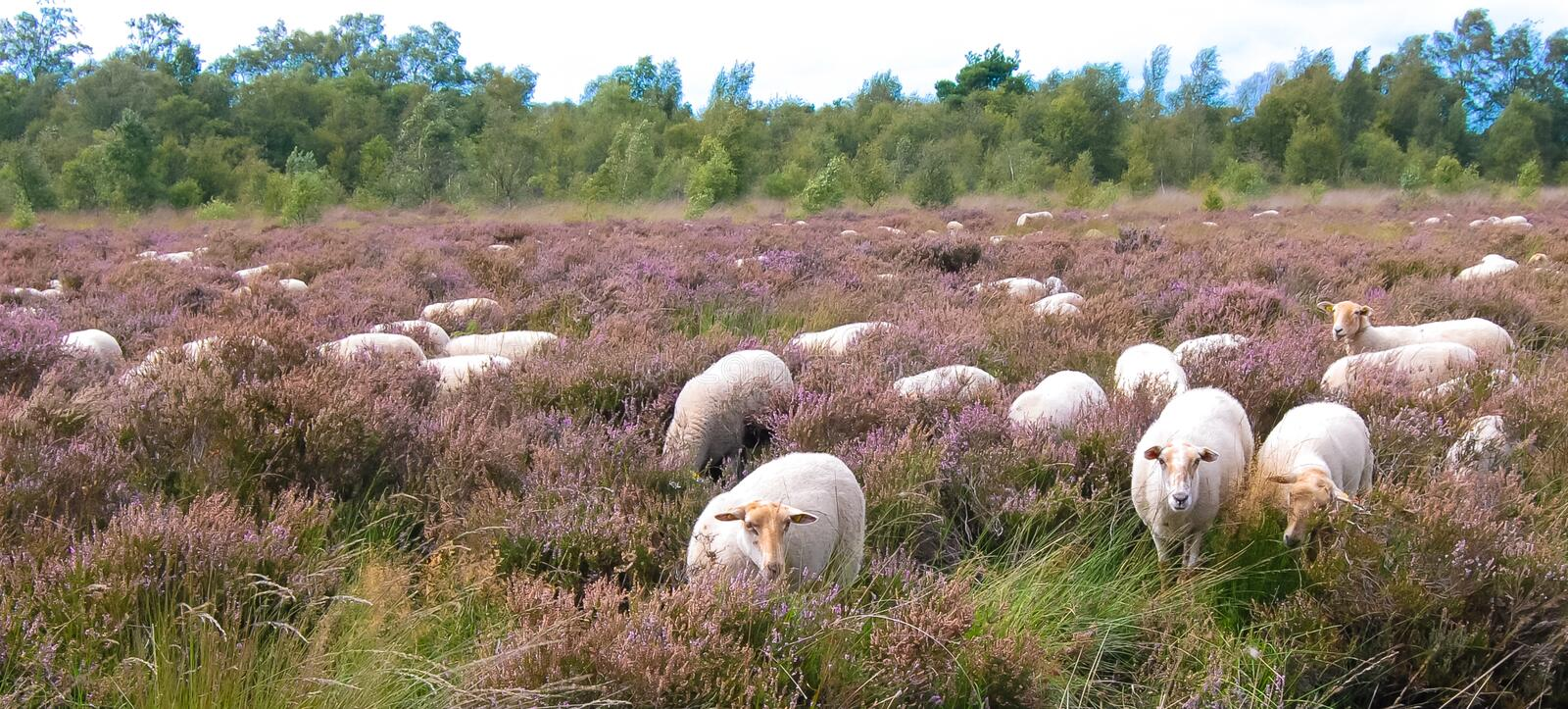 Curious sheep. On the dutch purple Heather landscape royalty free stock photos