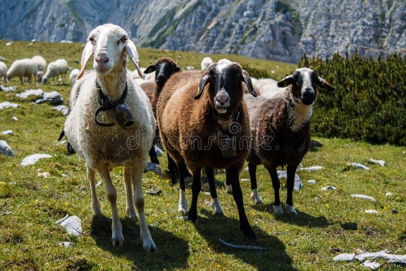 Curious sheep stock images