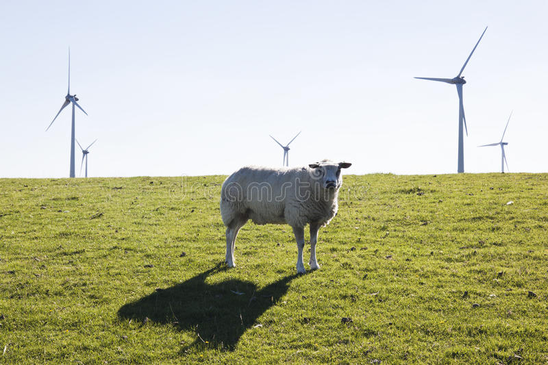 Curious sheep and wind turbines near the dutch Waddenzee. The top of the province of Groningen, in the neighbourhood of the little area Noordkaap, is swamped stock photography