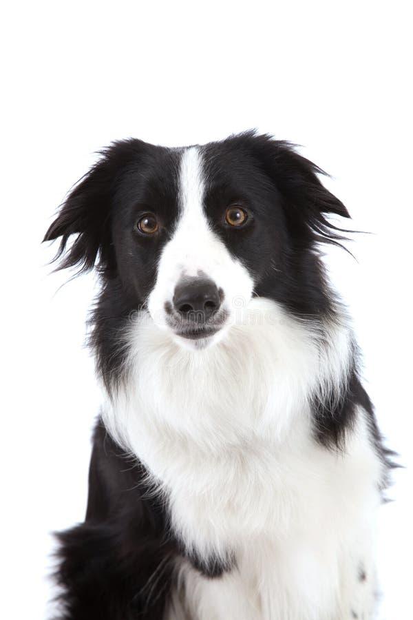 Curious sheepdog stock photo