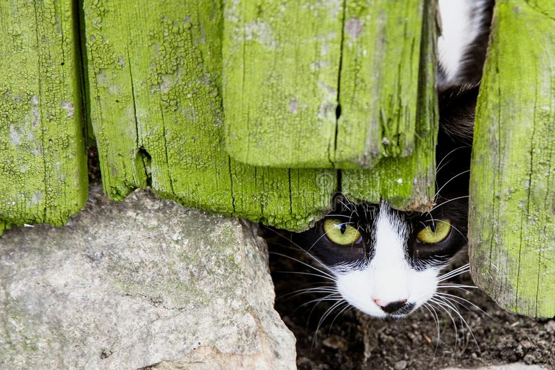 Curious small cat with green eyes looking peeping through a crack in a broken cracked wooden door stock images