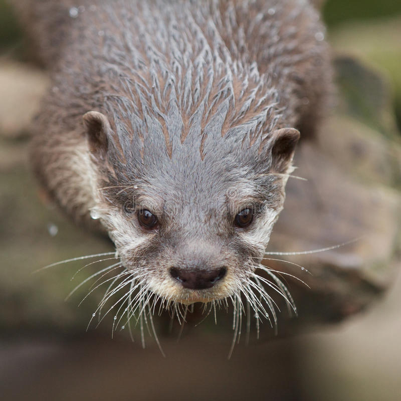 Curious Small-clawed Otter Royalty Free Stock Image