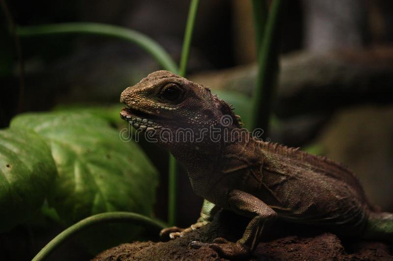 Curious small lizard stock photography