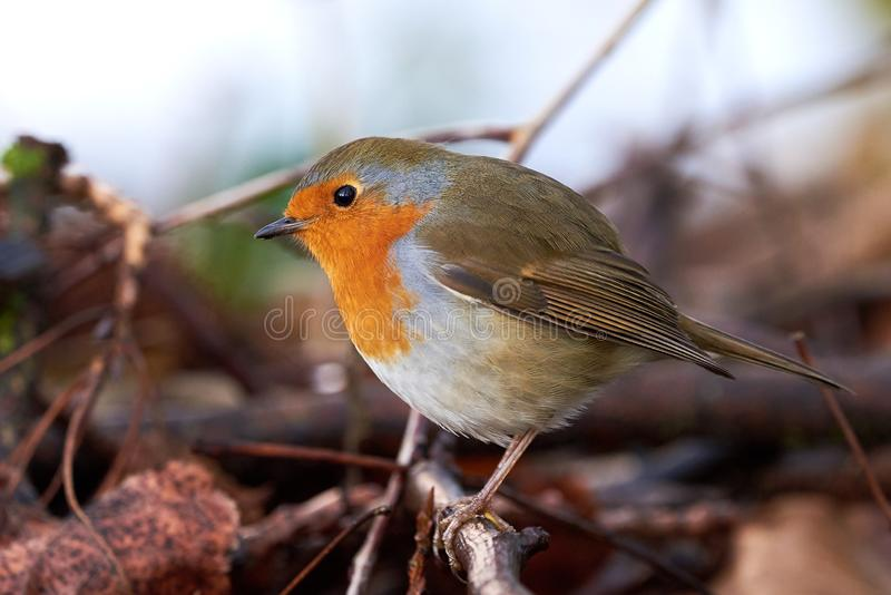 Curious Small Singing Bird European Robin  Erithacus Rubecula  sitting on a branch stock images