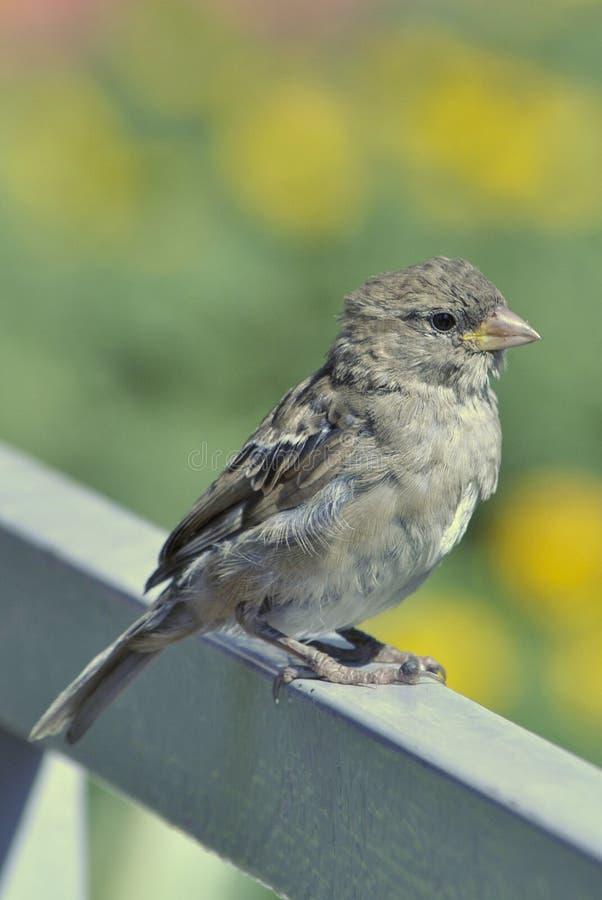 Curious sparrow stock photography
