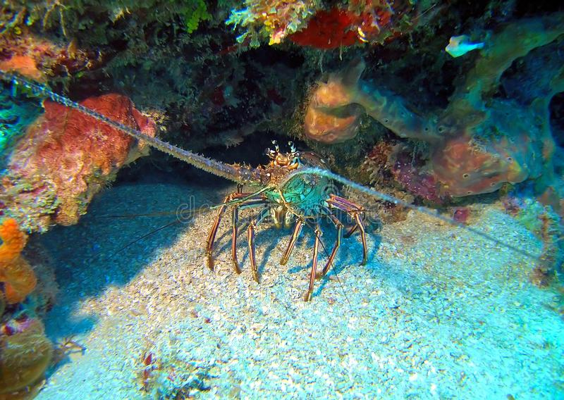 Curious Spiny Lobster royalty free stock photography