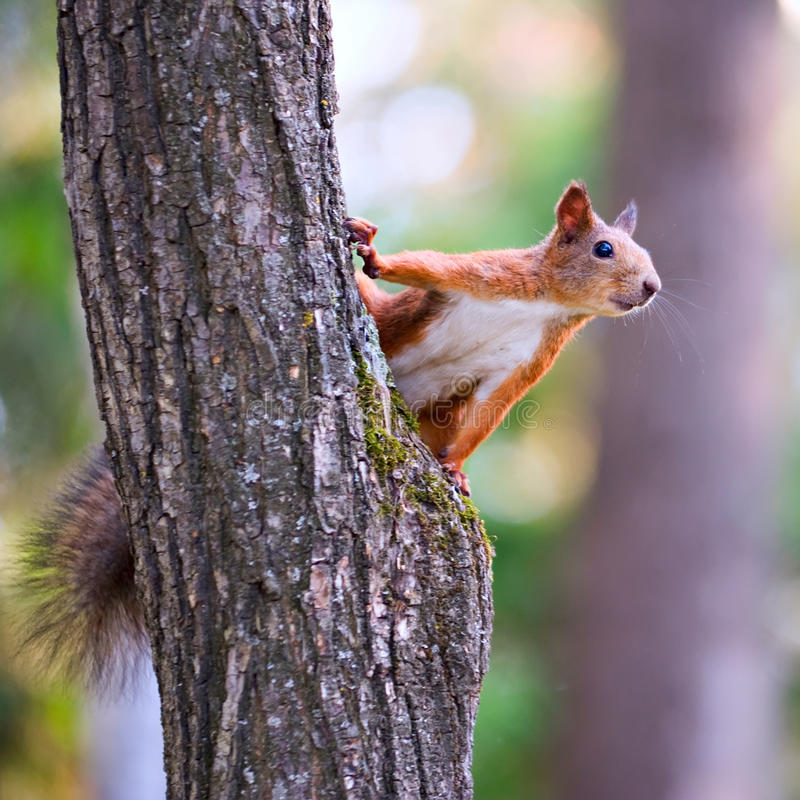 Free Curious Squirrel Royalty Free Stock Photo - 23824595