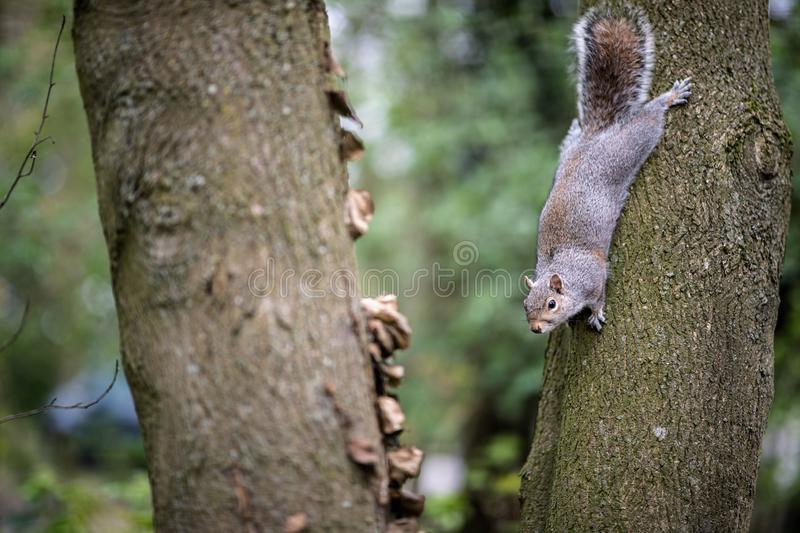 A cheeky squirrel in a tree at a park in the Kent countryside. A curious squirrel climbing down a tree in the Kent countryside stock photo
