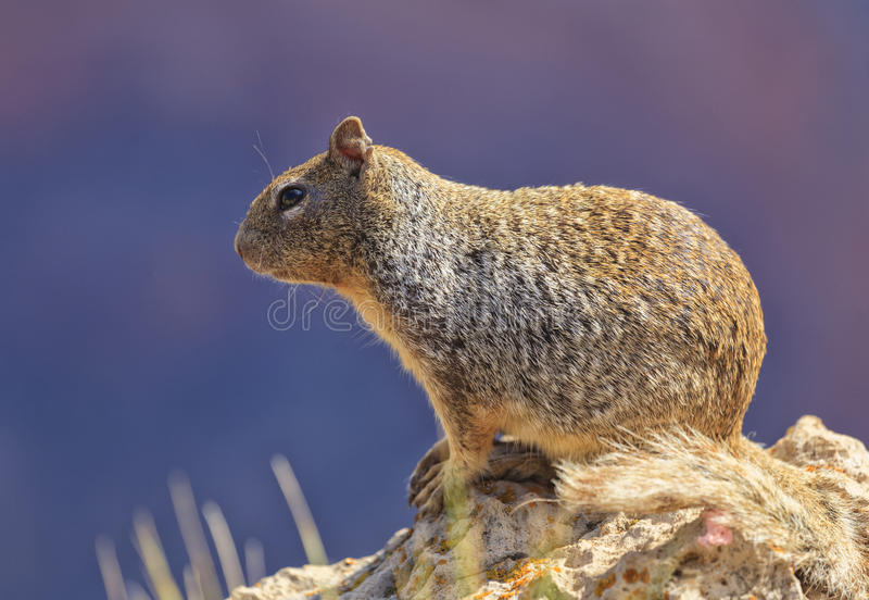 Curious squirrel at Grand Canyon stock image