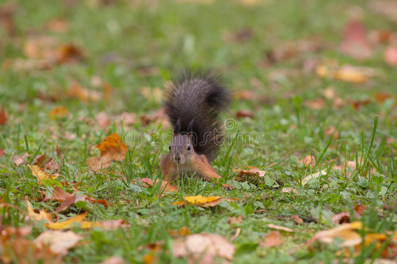 Download Curious Squirrel In A Grass Stock Image - Image: 26923329