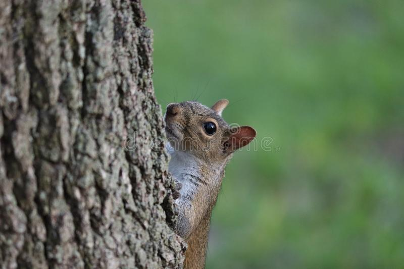 Curious squirrel looking out from behind a tree trunk. royalty free stock images