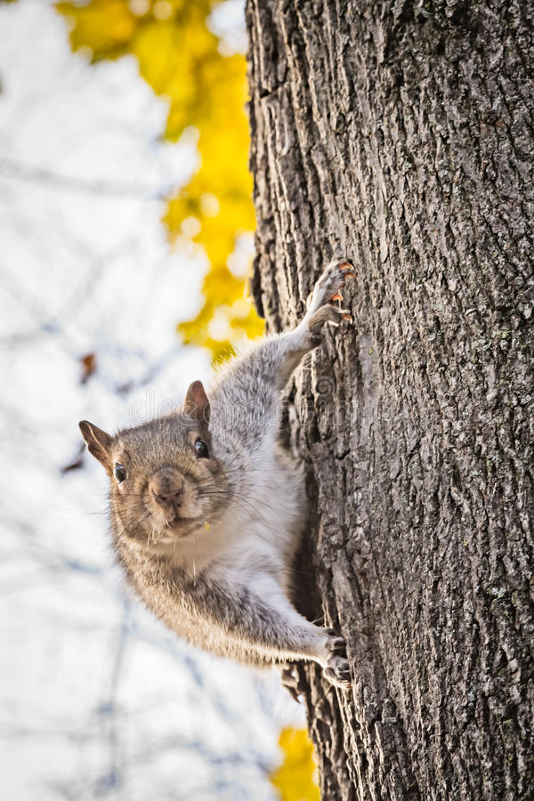 Free Curious Squirrel On Tree Trunk Macro Royalty Free Stock Photo - 46849545