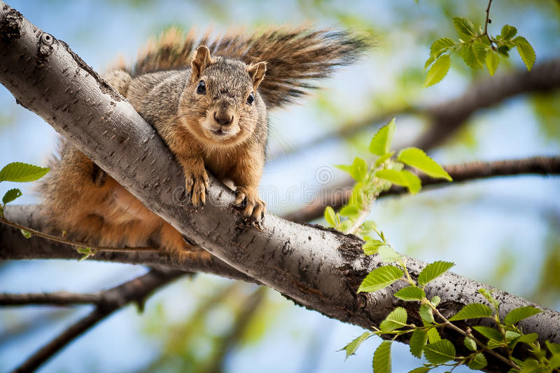 Curious Squirrel royalty free stock photos