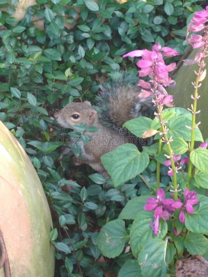 A curious squirrel, posing among the flowers stock image