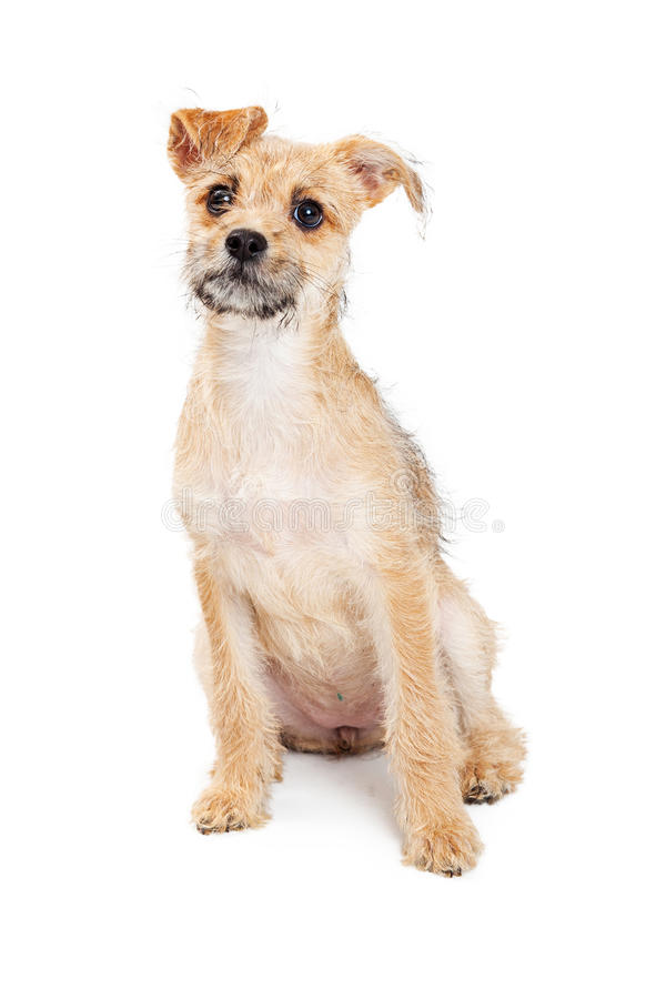 Curious Terrier Puppy Sitting on White. Cute little scruffy mixed breed terrier puppy sitting on a white background with a curious expression royalty free stock images