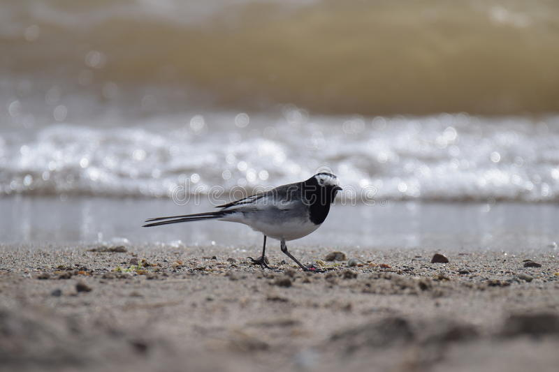 Curious wagtail is on the coast of lake Issyk-Kul royalty free stock images