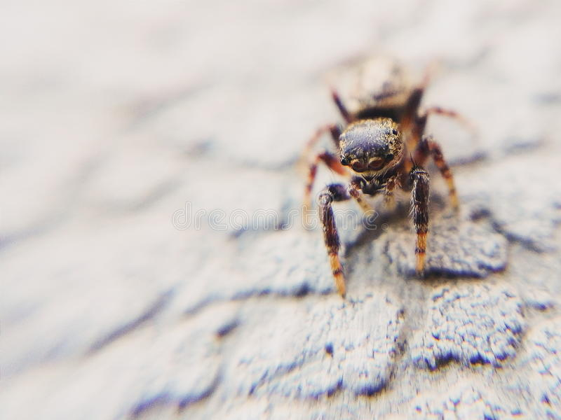 Curious Wandering Jumping Spider stock image