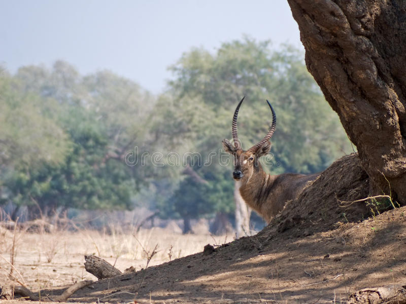 Curious waterbuck royalty free stock photo