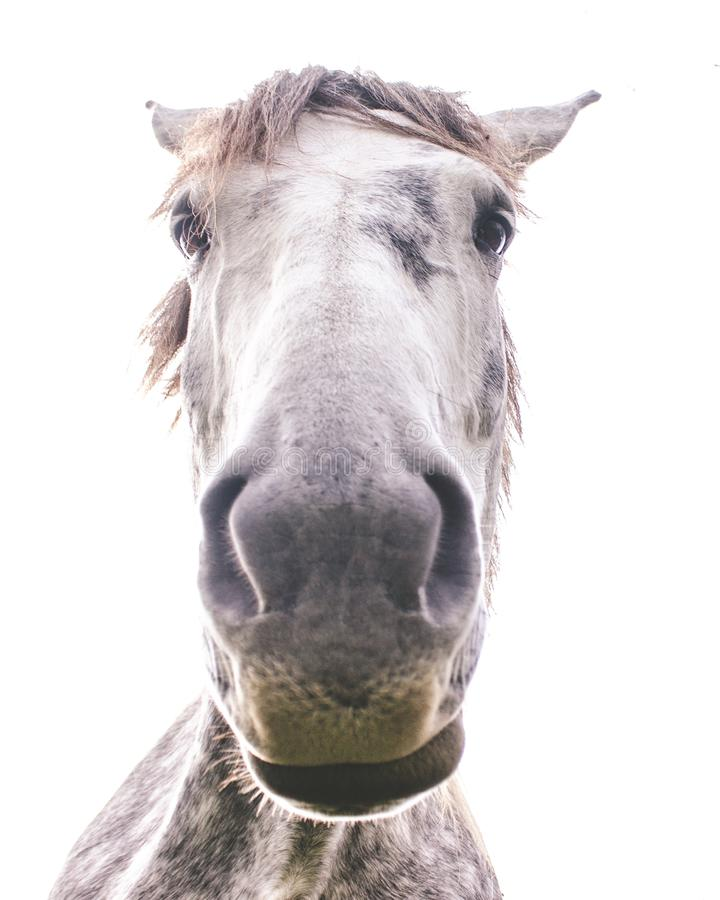Curious white horse royalty free stock images