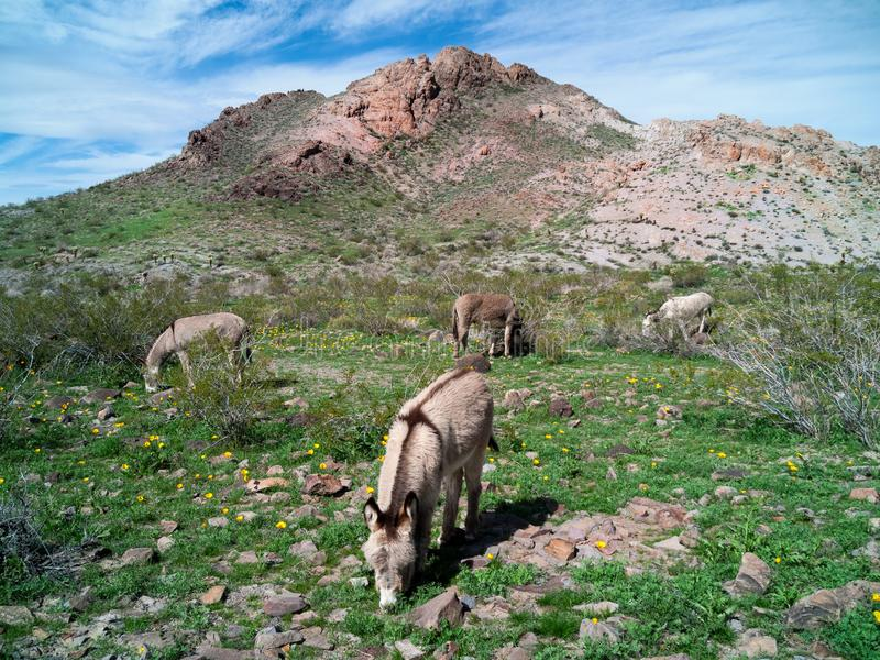 Wild Burros in the Black Mountains along Route 66 royalty free stock photo