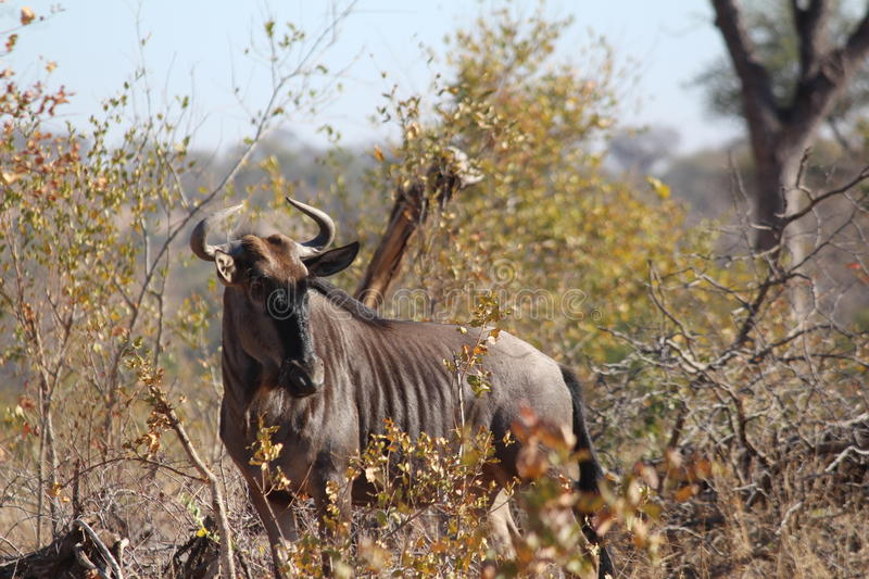 A Curious Wildebeest stock images