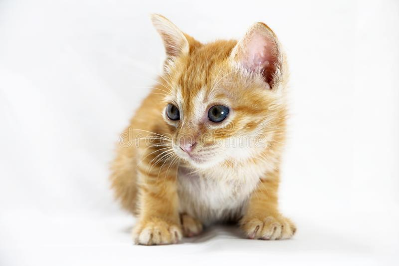 Curious Yellow Kitten royalty free stock image