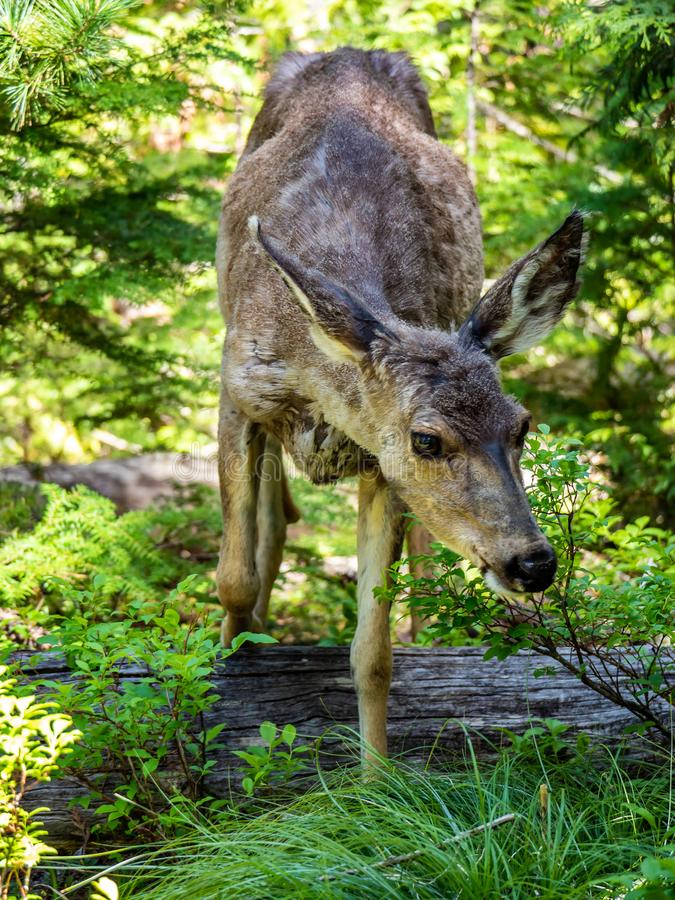 A Curious Young Deer Is Comfortable in Front of the Camera. A young female deer seems to not mind the camera on Sperry Trail in Glacier National Park, Montana on royalty free stock photo