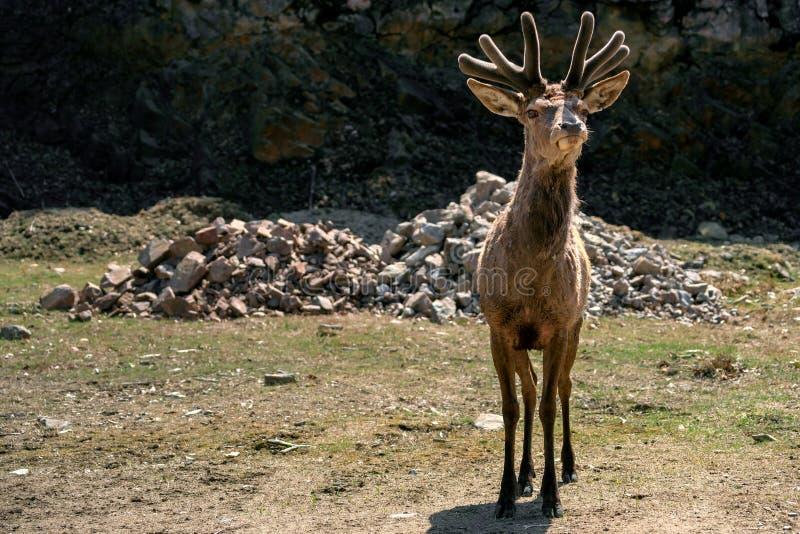 Curious Young Elk ( Wapiti ) in Spring Velvet stock photos