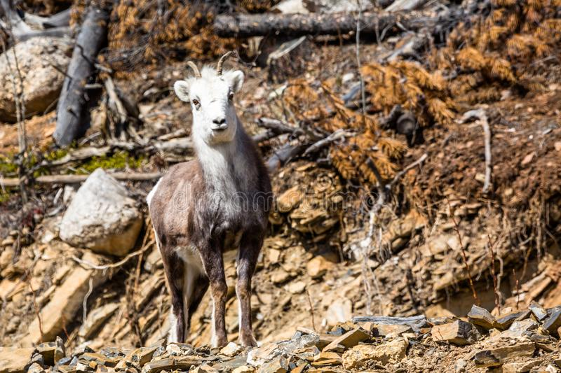 Curious young ewe Stone Sheep looking at the camera near the Cassiar Highway in the Yukon royalty free stock image