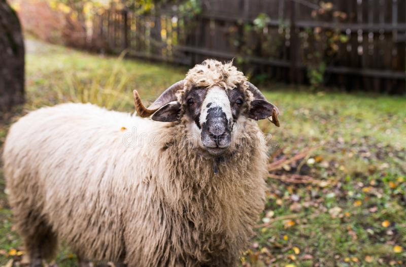 Curious young sheep ram looking in to the camera, shallow depth of field. Focus on the sheep`s nose stock photo