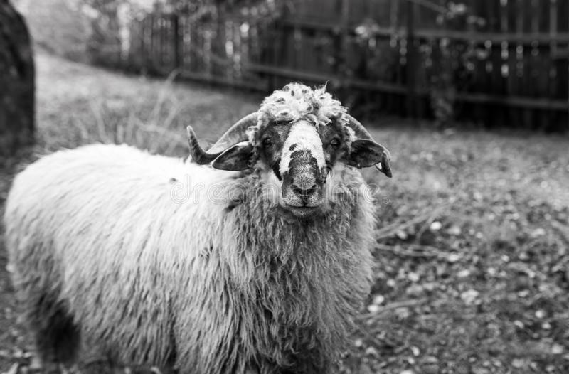 Curious young sheep ram looking in to the camera, shallow depth of field, focus on the sheep`s nose. In black and white royalty free stock photography