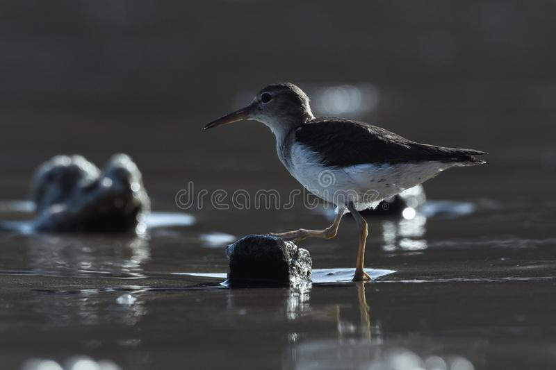 Close-up of a Sand-Piper on a Beach in Guanacaste, Costa Rica. Curious young spotted sand piper hunts for breakfast on an early morning in Costa Rica stock images