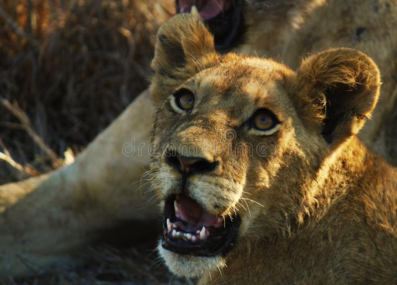 Curiousity of a Lion cub royalty free stock image