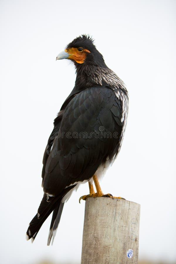 Curiquinge andean fågel i den Cotopaxi nationalparken i Ecuador royaltyfria bilder