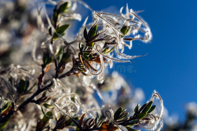 Curl-Leaf Mountain Mahogany seeds. Springing out of a tree stock photo