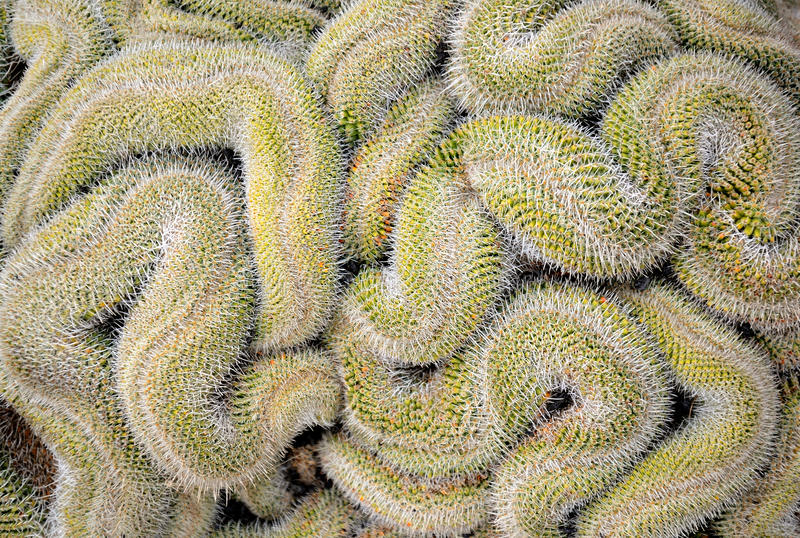 Download Curled Cactus Royalty Free Stock Image - Image: 24435326