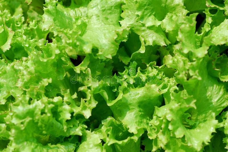 Curled lettuce background