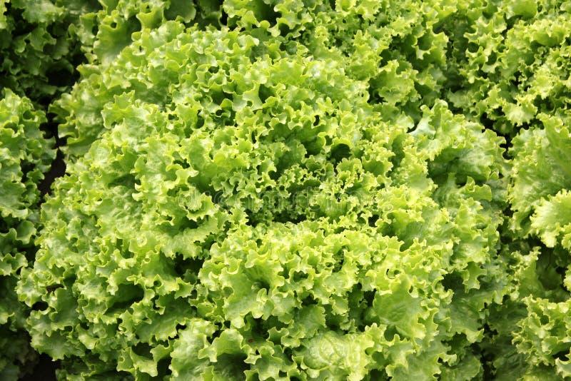 [Image: curled-lettuce-lactuca-sativa-var-crispa...184259.jpg]