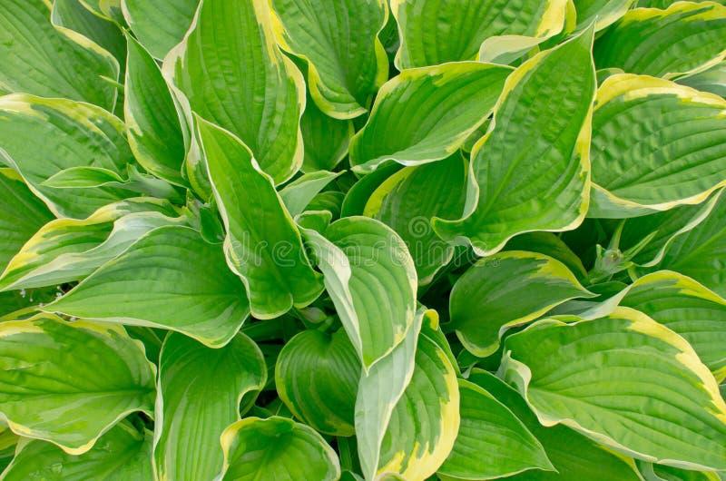 Curled plantain lily (Hosta crispula) royalty free stock image