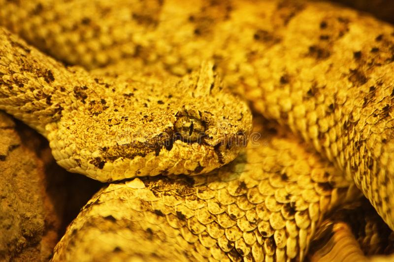 Curled up sidewinder & x28;Crotalus cerastes& x29; venomous pitviper snake. Close up shot of a curled up sidewinder & x28;Crotalus cerastes& x29;, a venomous royalty free stock photos
