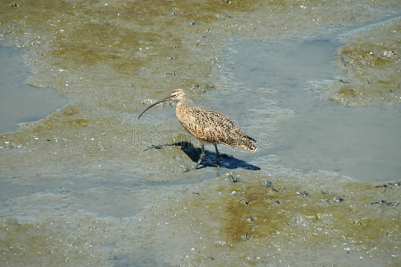 Curlew. Long-billed curlew, Baylands Nature Preserve, Palo Alto, California royalty free stock images