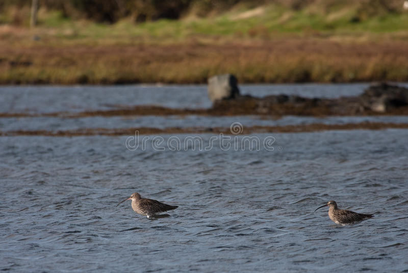 Curlew Stock Photography