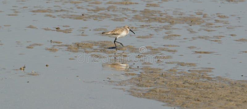 curlew blisko sandpiper morza zdjęcia royalty free