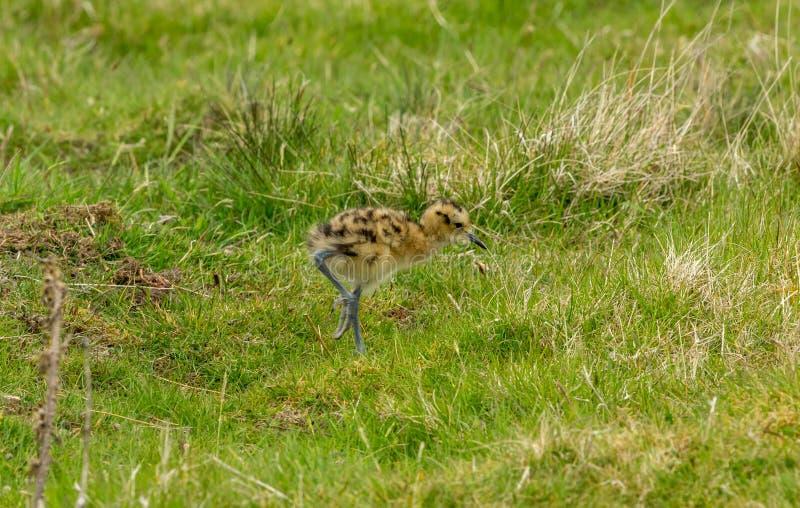 Curlew kurczątko w Yorkshire dolinach, UK podczas wiosny fotografia stock