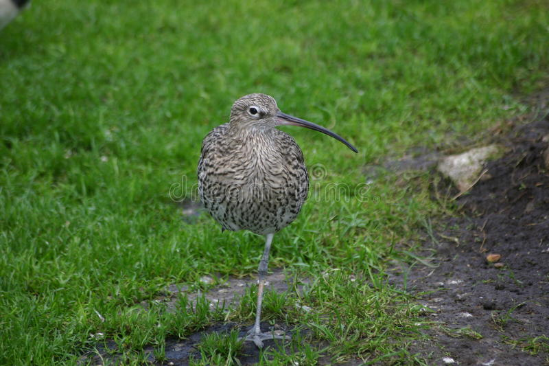 Curlew standing on one leg. On grass with head facing to the side in profile royalty free stock photo