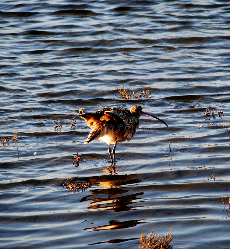 Download Curlew Ruffles Feathers Stock Photography - Image: 6545442