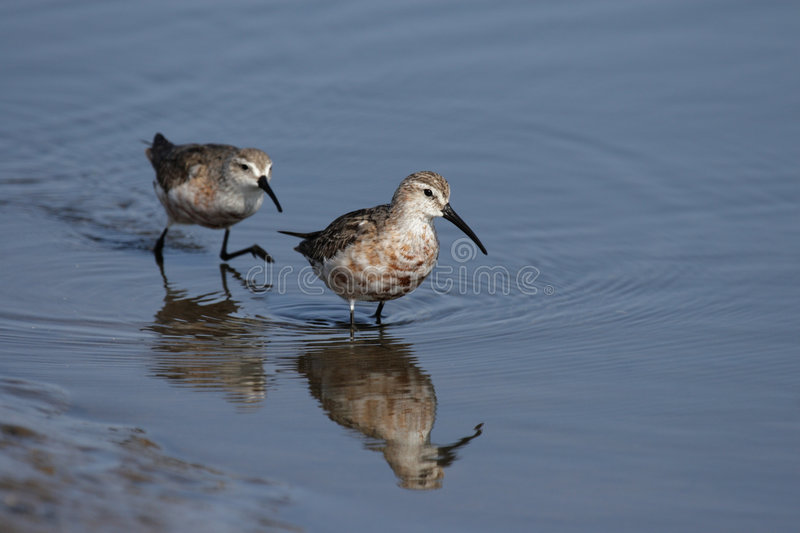 curlew sandpipers obrazy royalty free