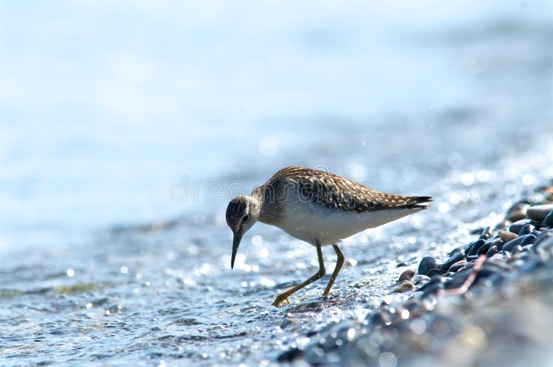 Curlew on the shore of the lake a background water, Baikal. Curlew on the shore of the lake on a background of water, Baikal, Russia royalty free stock photos
