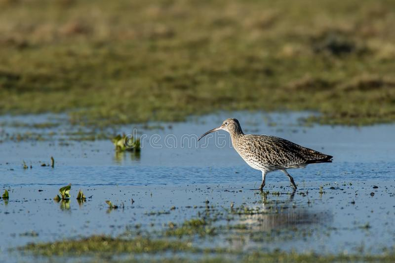 Curlew Wading through Flooded Field. Curlew Numenius arquata wading through water on grassland prone to flooding. Wetlands such as this are its natural habitat royalty free stock image