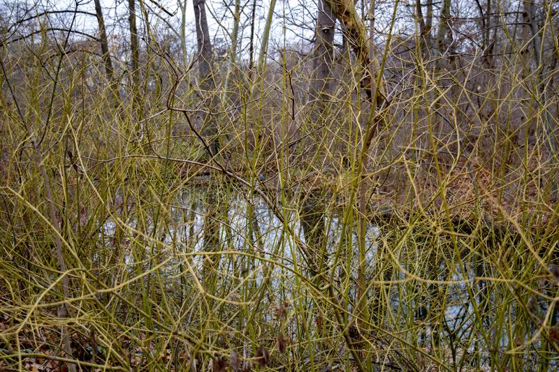 Curly bare bush branches overgrown by lake shore royalty free stock image